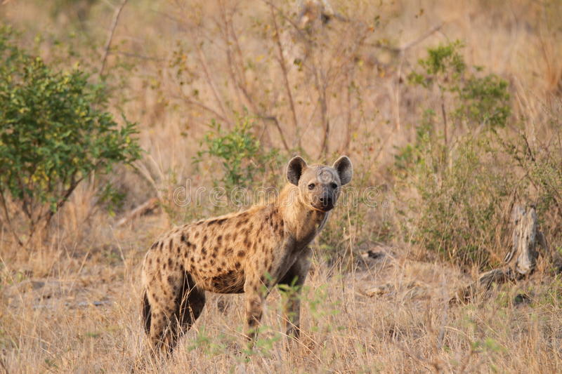 Spotted Hyena. S are famed scavengers and often dine on leftovers from other predators stock photography