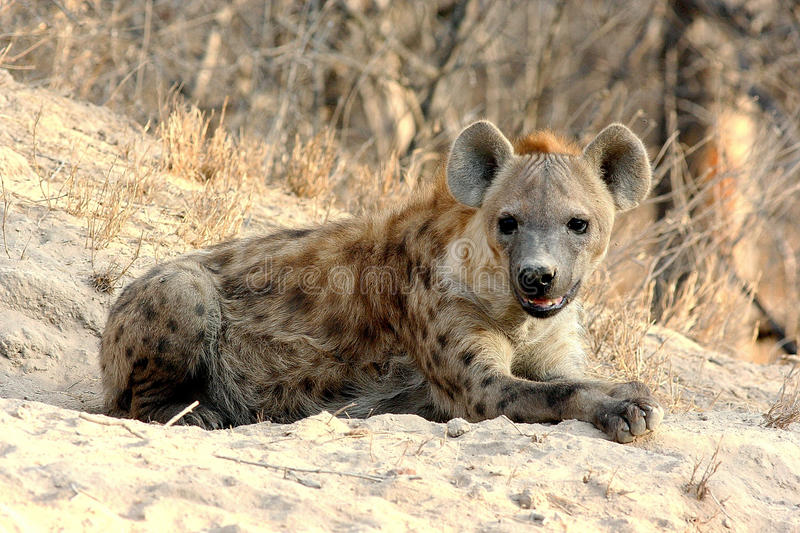 Spotted Hyena lying in the Sun stock photography