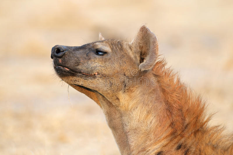 Download Spotted hyena stock photo. Image of animal, strong, hyena - 34004756