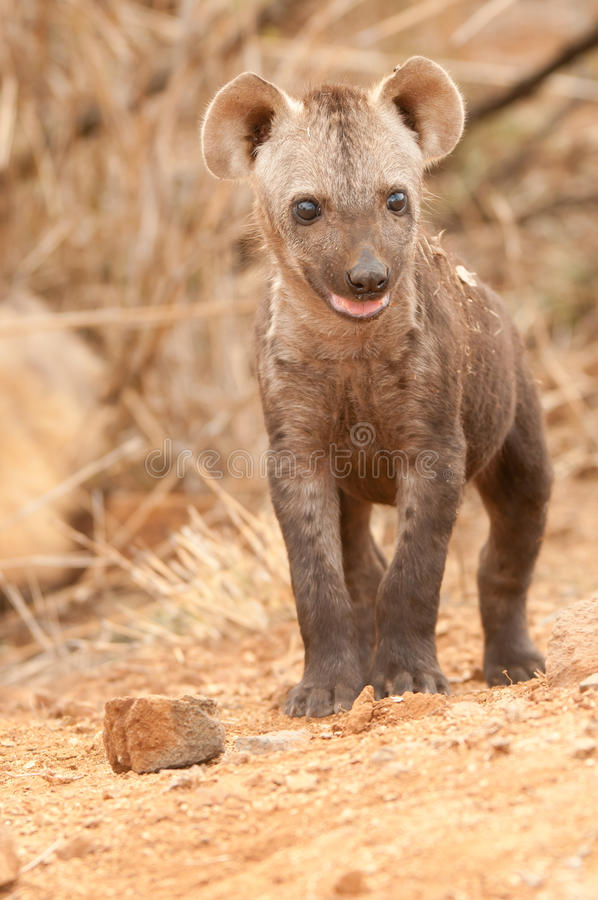 Spotted Hyena Pup Royalty Free Stock Photo