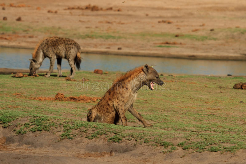 2 spotted hyena's on the plains in Hwange National PaRK royalty free stock photos