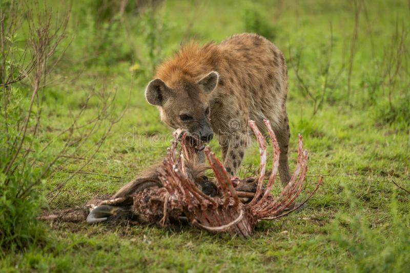Spotted hyena stands gnawing ribs of carcase stock images