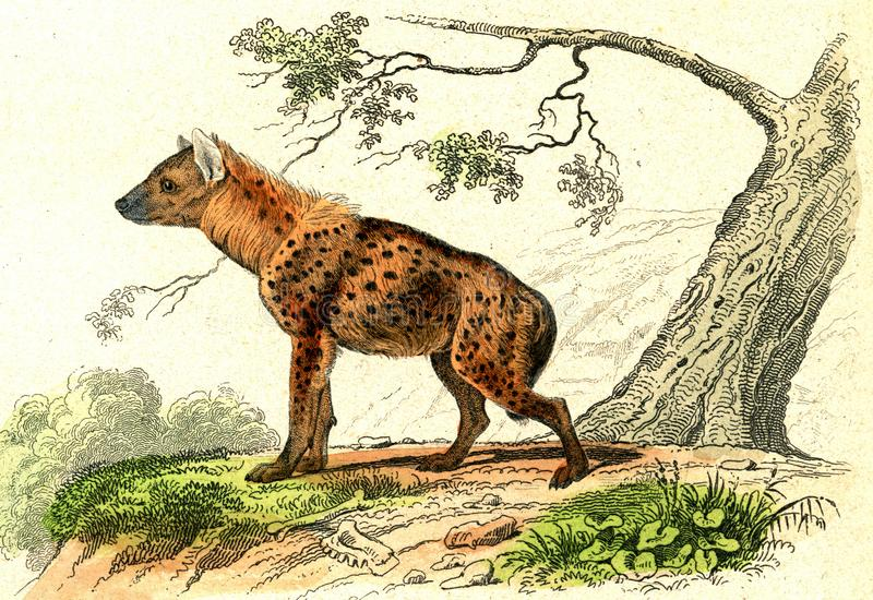 The Spotted Hyena, vintage engraving stock illustration
