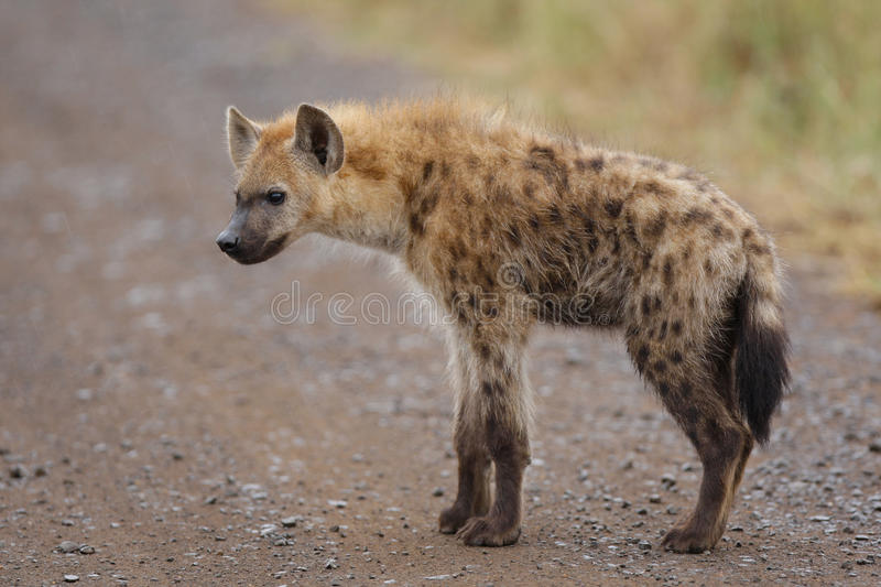 Spotted hyena youngster royalty free stock photo