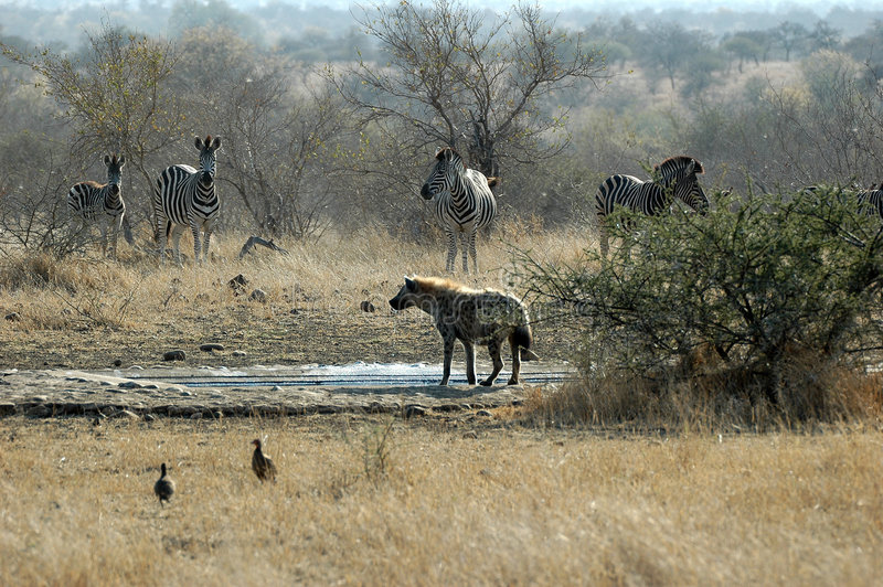 Spotted Hyena with zebra. At Kruger National Park, South Africa stock images