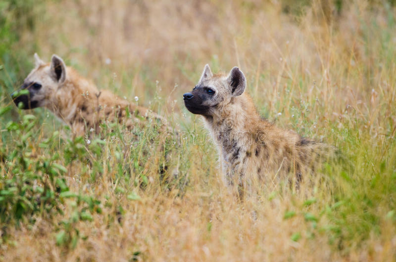 Spotted Hyenas hunting, South Africa royalty free stock image