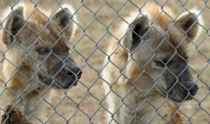 Hyenas. Spotted Hyenas standing being fence royalty free stock photo