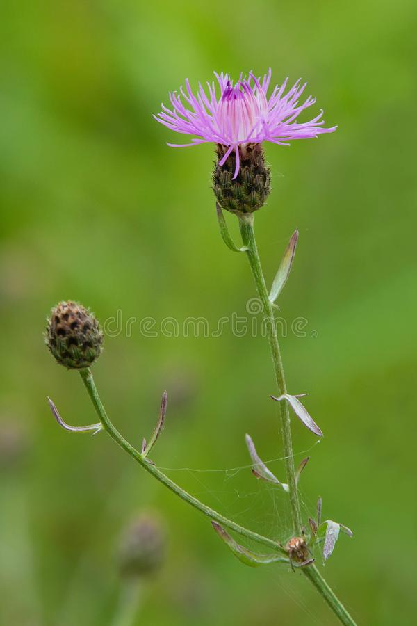 Spotted Knapweed - Centaurea Maculosa. Close up of a pink Spotted Knapweed flower. Tommy Thompson Park, Toronto, Ontario, Canada royalty free stock photography