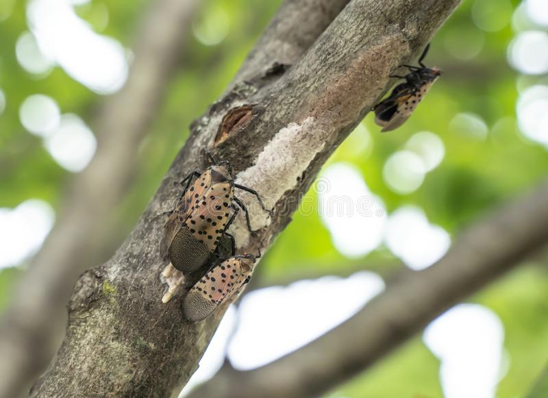Spotted Lanternflies or lanternfly Lycorma delicatula lays eggs on tree, Berks County, Pennsylvania. Spotted Lanternfly lycorma delicatula lays eggs on tree stock photography