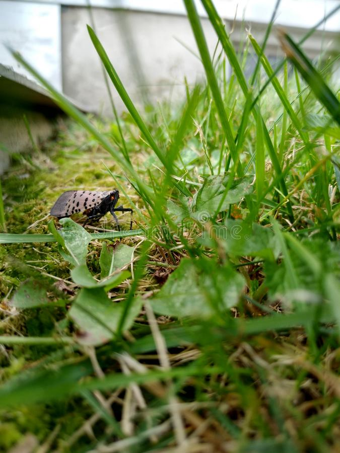 Spotted Lanternfly, Bug, Insect, Invasive Species, Pennsylvania, USA. Spotted lanternfly in the grass of a yard in Lehigh County, Pennsylvania. Lehigh County is stock photography