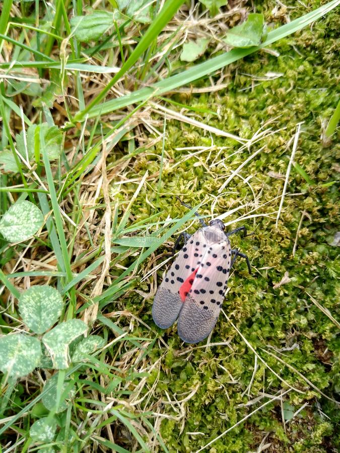Bug, Invasive Species, Spotted Lanternfly, Insect, Pennsylvania, USA. Spotted lanternfly in the grass of a yard in Lehigh County, Pennsylvania. Lehigh County is royalty free stock photo