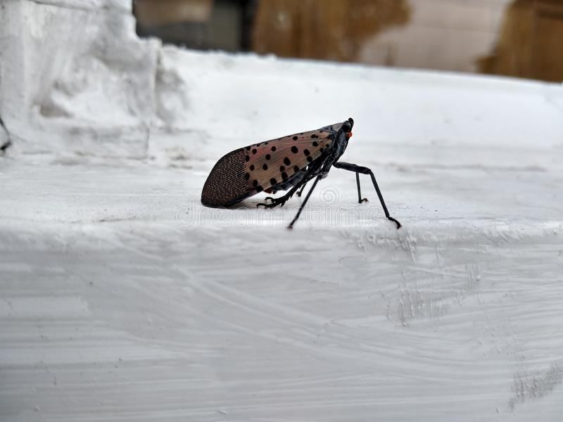 Closeup of a Spotted Lanternfly, Bug, Insect, Pest, Invasive Species, Pennsylvania, USA stock photo