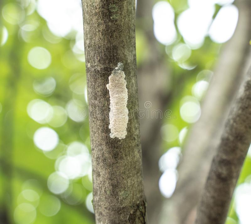 Spotted Lanternflies or lanternfly Lycorma delicatula eggs on tree, Berks County, Pennsylvania. Spotted Lanternfly lycorma delicatula eggs on tree. Infestations royalty free stock image