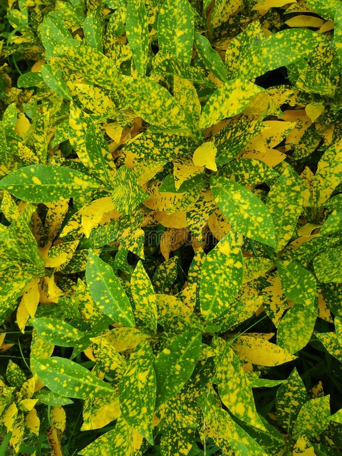 Spotted leaves, green and yellow royalty free stock photo
