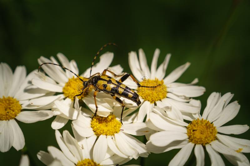 Spotted long horn beetle on a Daisy flower,  Ruptela Maculata. Long hor beetle macro take stock photography