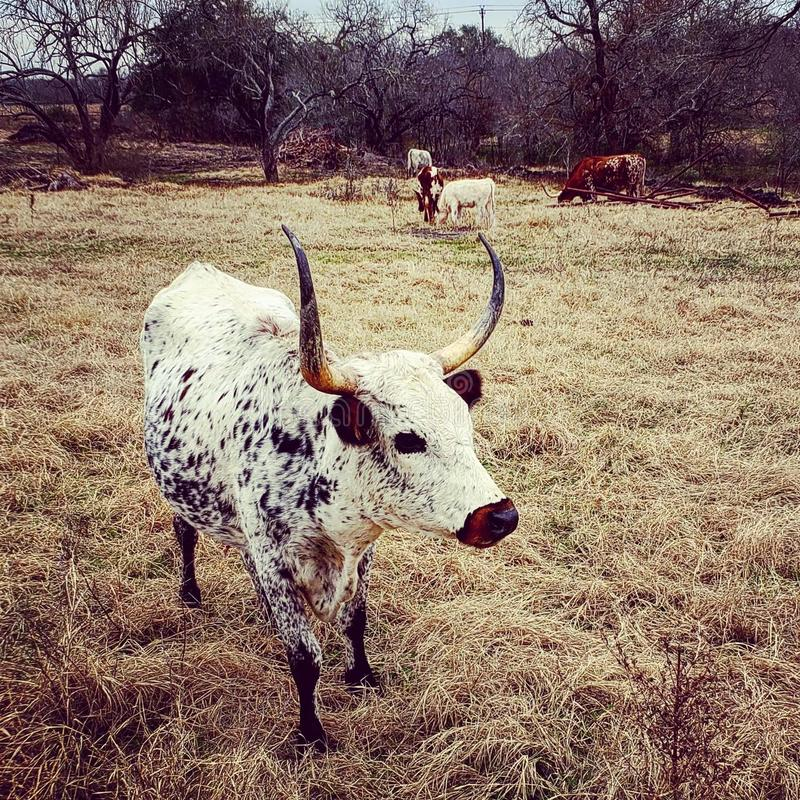 Spotted long horn. Cow, ranch stock photos