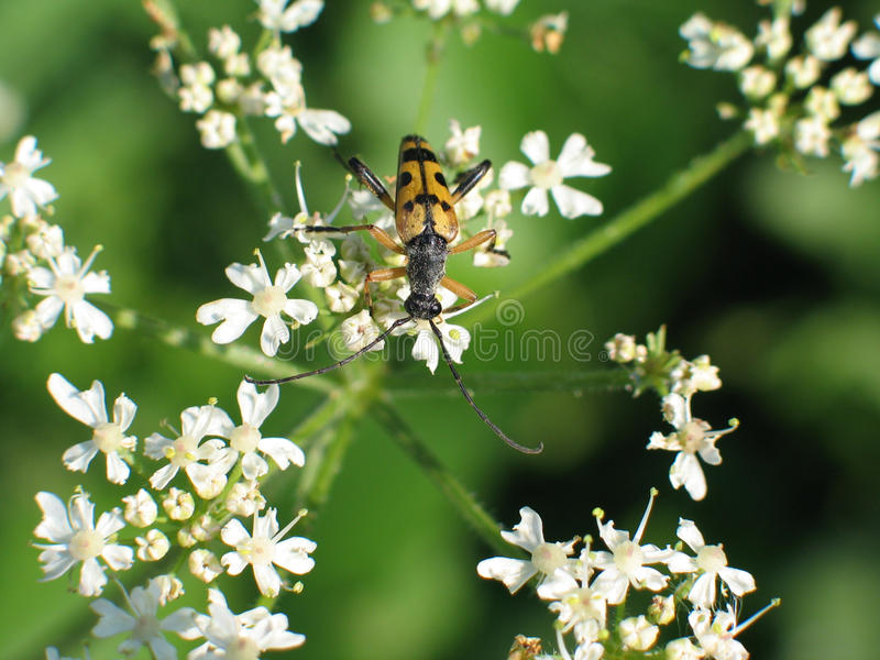 Spotted Longhorn Beetle, Rutpela maculata. Photographed at Locksbrook Cemetery, Bath, UK royalty free stock images