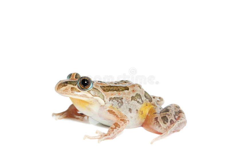 Download Spotted Marsh Frog Stock Photo - Image: 17824120