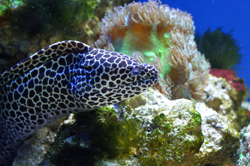 Spotted Moray Stock Photo