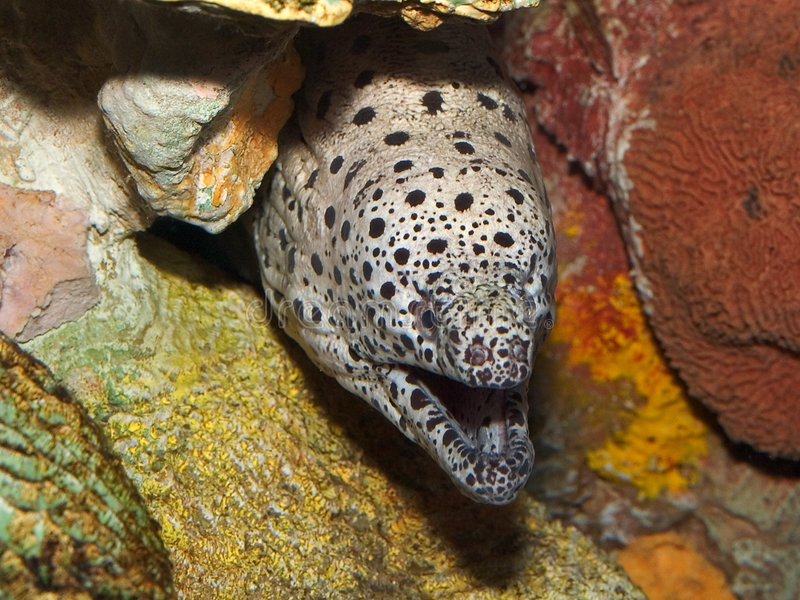 Spotted Moray Eel In Hiding Stock Image