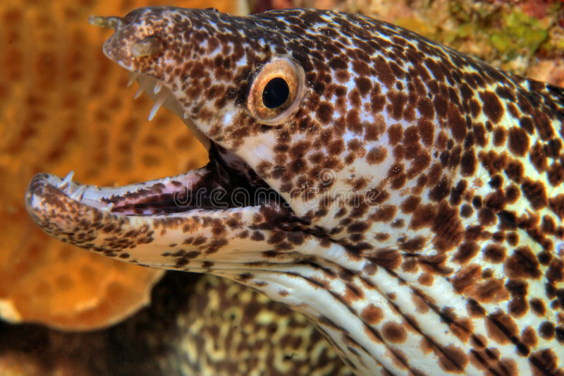 Spotted moray ell royalty free stock photo