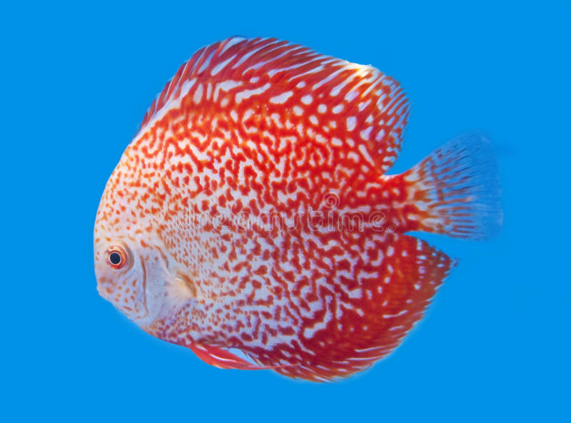 Spotted orange discus royalty free stock photography for Discus fish price
