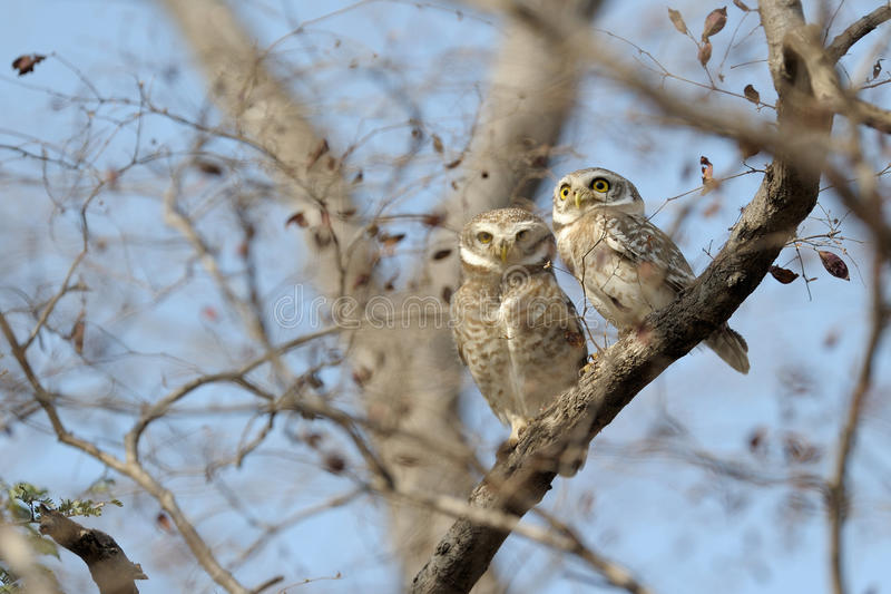 Download Spotted Owl Royalty Free Stock Photos - Image: 27181698