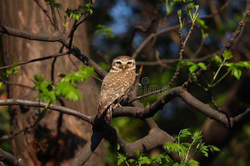 The Spotted owlet. stock photos