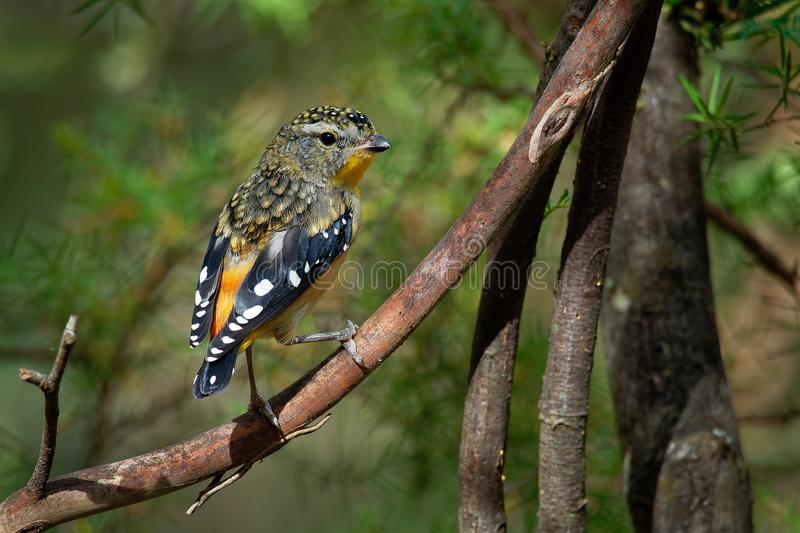 Spotted Pardalote - Pardalotus punctatus small australian bird, beautiful colors, in the forest in Australia, Tasmania.  stock photos