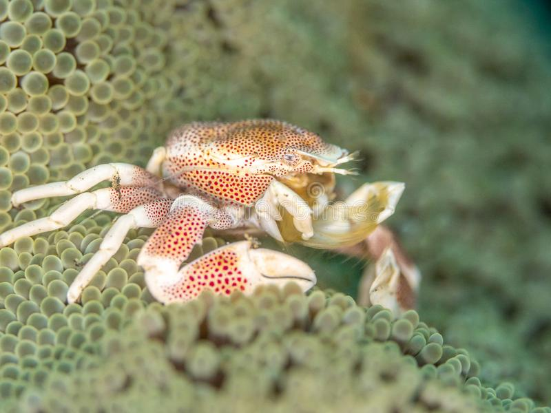 Spotted porcelain crab, Neopetrolisthes maculatus. Pulisan, North Sulawesi. Spotted porcelain crab, Neopetrolisthes maculatus, in Mertens carpet sea anemone royalty free stock images