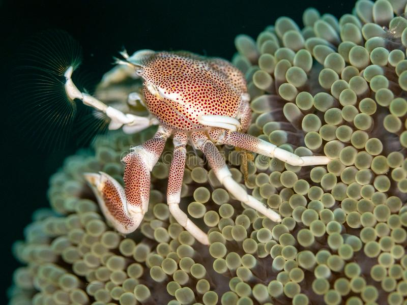 Spotted porcelain crab, Neopetrolisthes maculatus. Pulisan, North Sulawesi. Spotted porcelain crab, Neopetrolisthes maculatus, in Mertens carpet sea anemone royalty free stock photography
