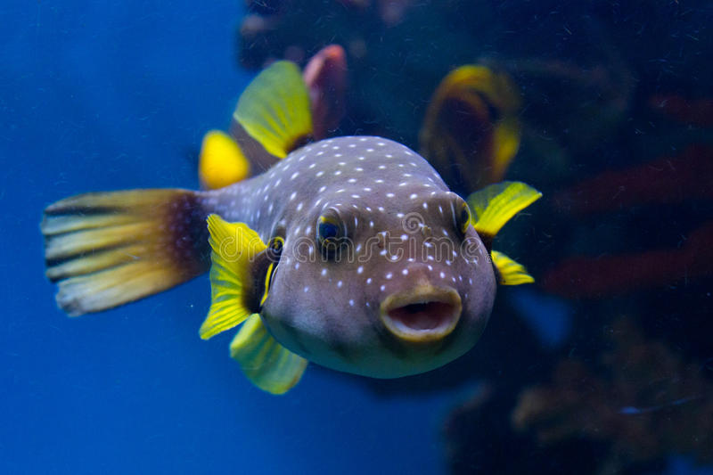 Spotted puffer fish stock photo image of fishes for Puffer fish price