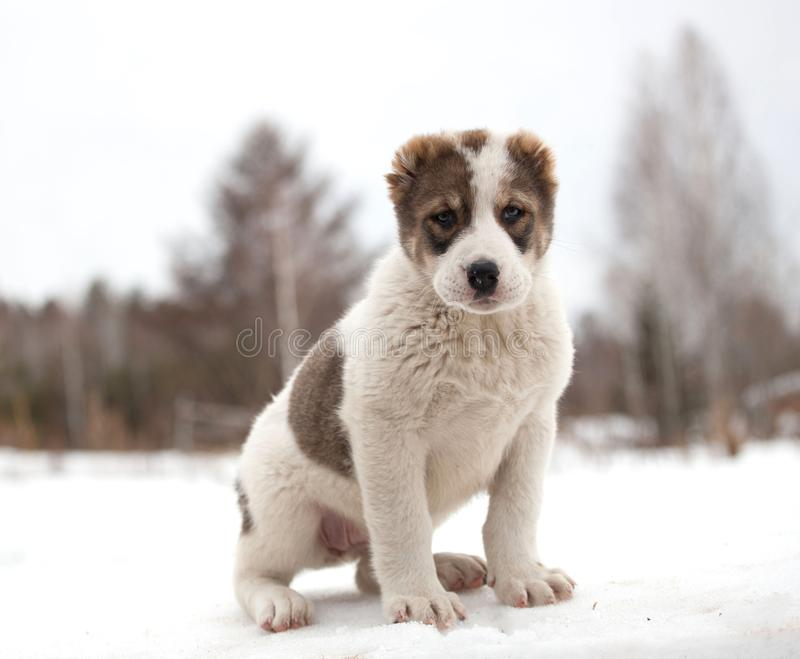 Spotted puppy of breed Alabay on a background of winter nature. Central asian shepherd dog royalty free stock photo