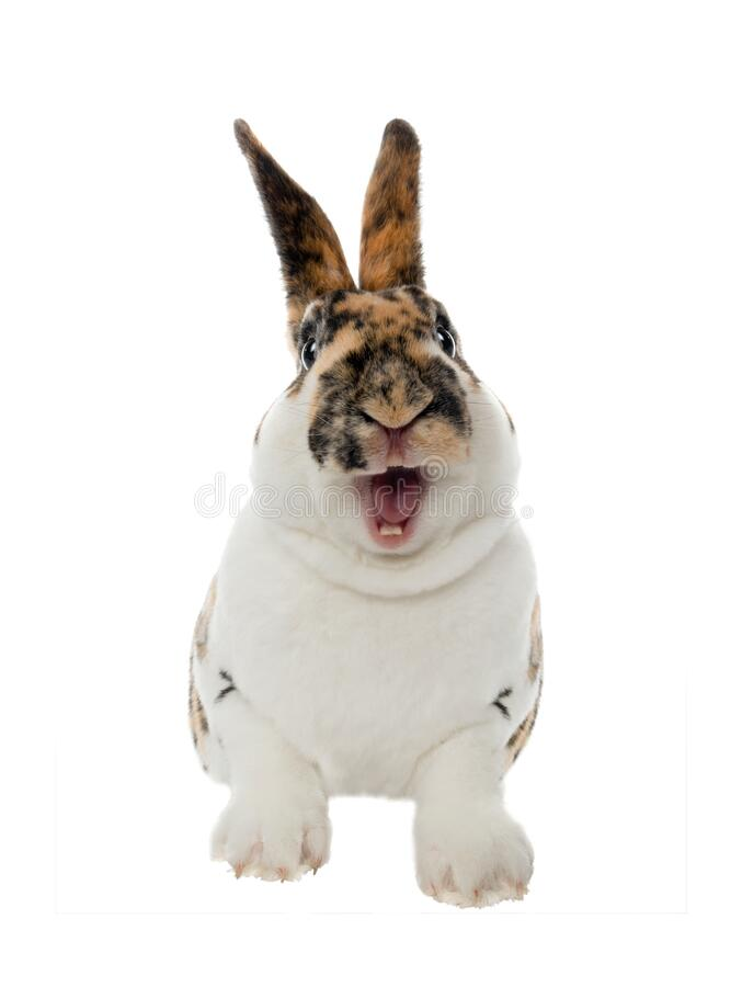 Free Spotted Rabbit Smiles With Open Mouth And Teeth Isolated On A White Royalty Free Stock Photography - 182014867