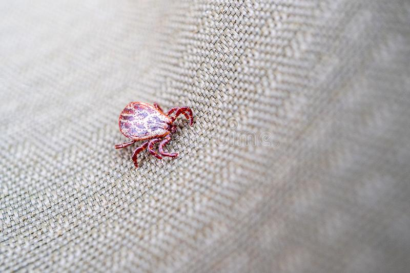 Spotted red color ixodid mite crawls through the tissue royalty free stock photo
