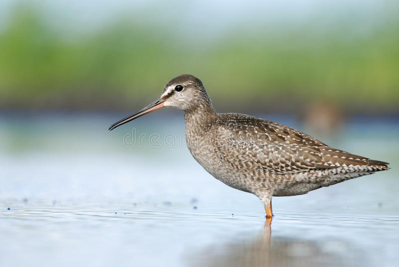 Spotted Redshank. Dusky Redshank standing in water near the seashore in Estonia stock image