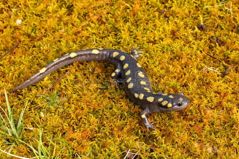 Download Spotted Salamander stock photo. Image of details, herping - 39505180