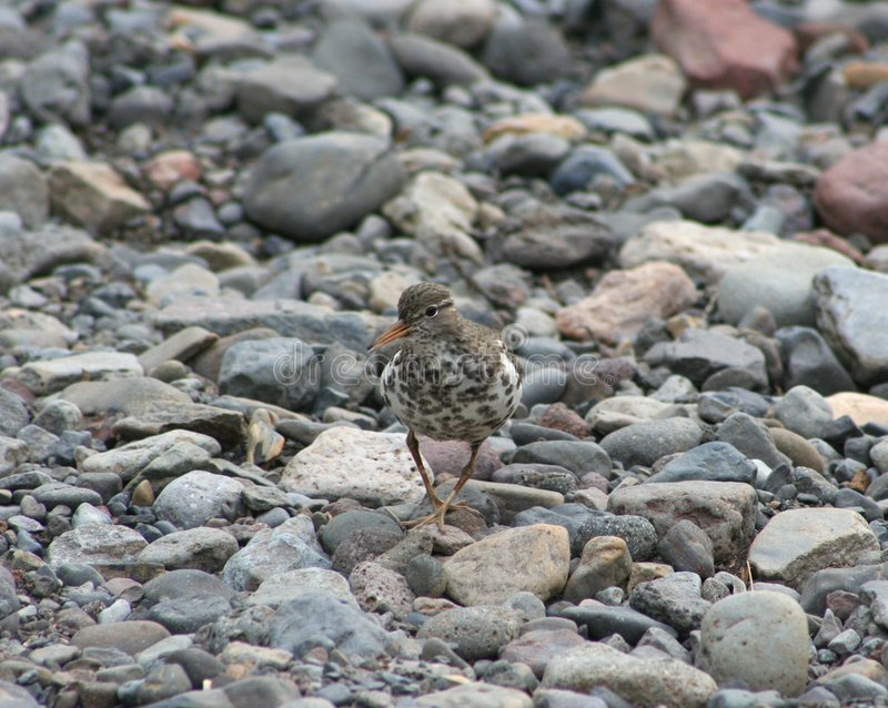 Download Spotted Sandpiper stock image. Image of stones, riverbed - 5999125