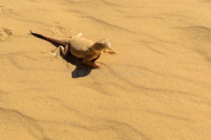 Spotted sapo-dirigió el Agama en la arena foto de archivo