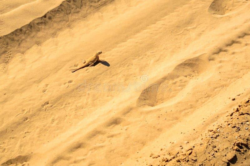 Spotted sapo-dirigió el Agama en la arena fotos de archivo libres de regalías