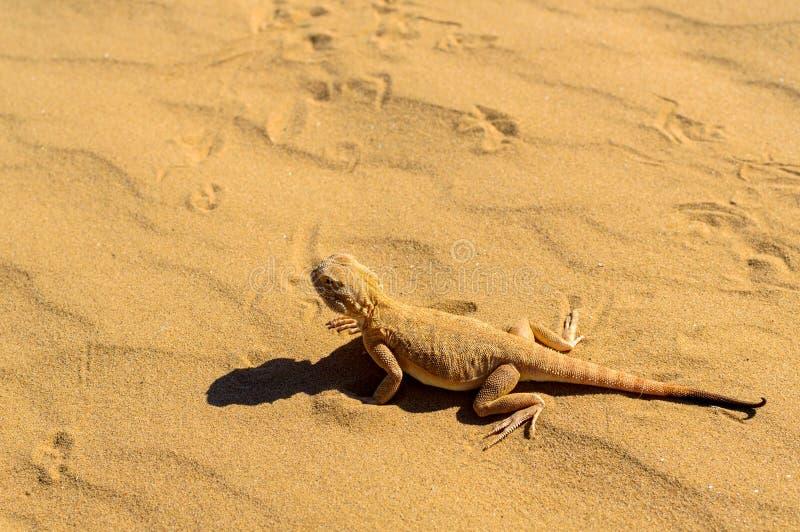 Spotted sapo-dirigió el Agama en la arena imagen de archivo