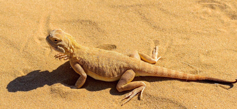 Spotted sapo-dirigió el Agama en la arena foto de archivo libre de regalías