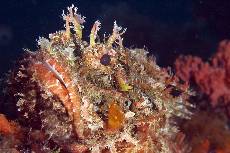 Spotted Scorpion Fish. Macroshot of the face of a Spotted Scorpion Fish(Scorpaena plumieri stock photo