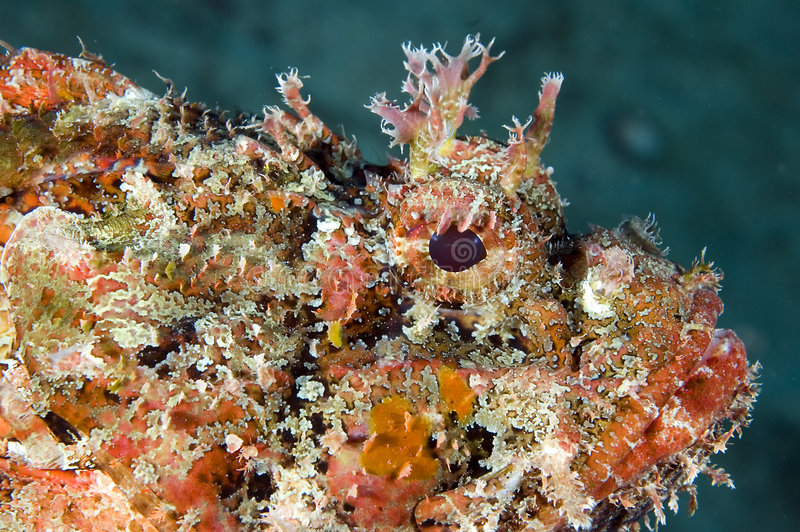 Spotted Scorpion Fish. Macroshot of the face of a Spotted Scorpion Fish(Scorpaena plumieri stock photography