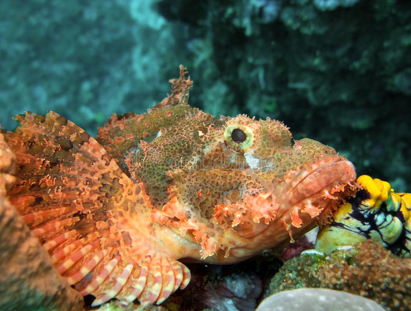 Spotted Scorpionfish. (scorpaena plumieri)on the coral reefs stock photos