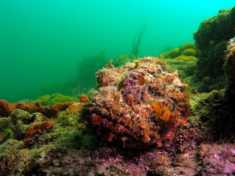 Spotted Scorpionfish. This is a head shot of a Spotted Scorpionfish. They are masters in camouflage and blend right in to the background. Divers beware if royalty free stock photo