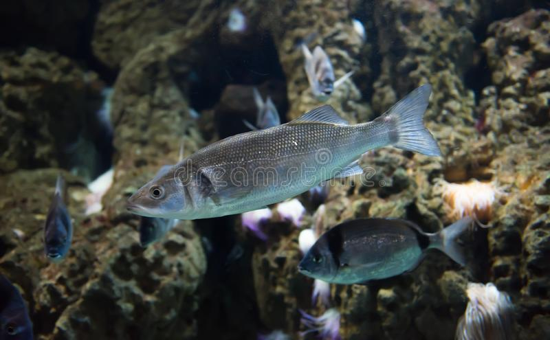 Spotted seabass or Dicentrarchus punctatus stock image