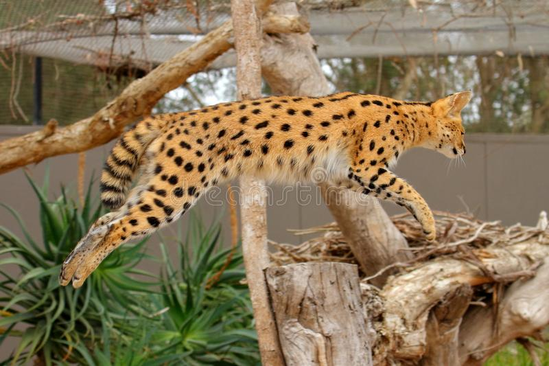 Serval jumping - Lepitailurus royalty free stock images
