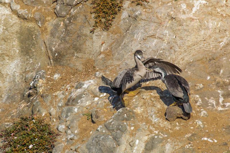 Spotted Shag. Two Spotted Shags In Non-Breeding Plumage Squabling On Rocky Cliff Side, Otago Peninsula, South Island, New Zealand stock images