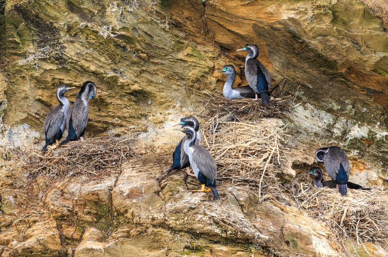 Spotted shags, a New Zealand native bird, nesting on a cliff. Spotted shags or spotted cormorants parekareka in Maori, Phalacrocorax punctatus are found only in royalty free stock photos